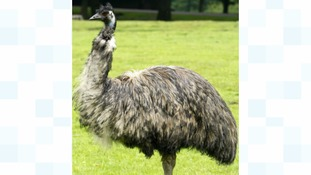 Police are searching for an Emu that is on the loose.