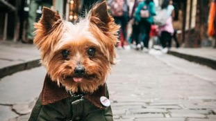 Yorkshire Terrier becomes TV presenter to promote tourism