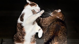 Downing Street cat fight captured on camera