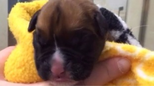 Puppies cloned in £67,000 process from dead pet dog arrive home in UK