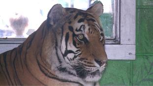 Cambridgeshire tiger celebrates 18th birthday