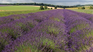 The purple harvest that's proving popular