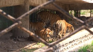 One visitor compared the tiger park to a prison.