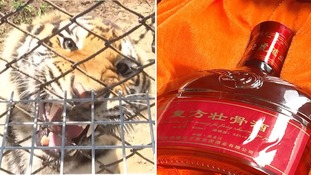 Tiger bone wine 'fuelling illegal wildlife trade', ITV News investigation finds