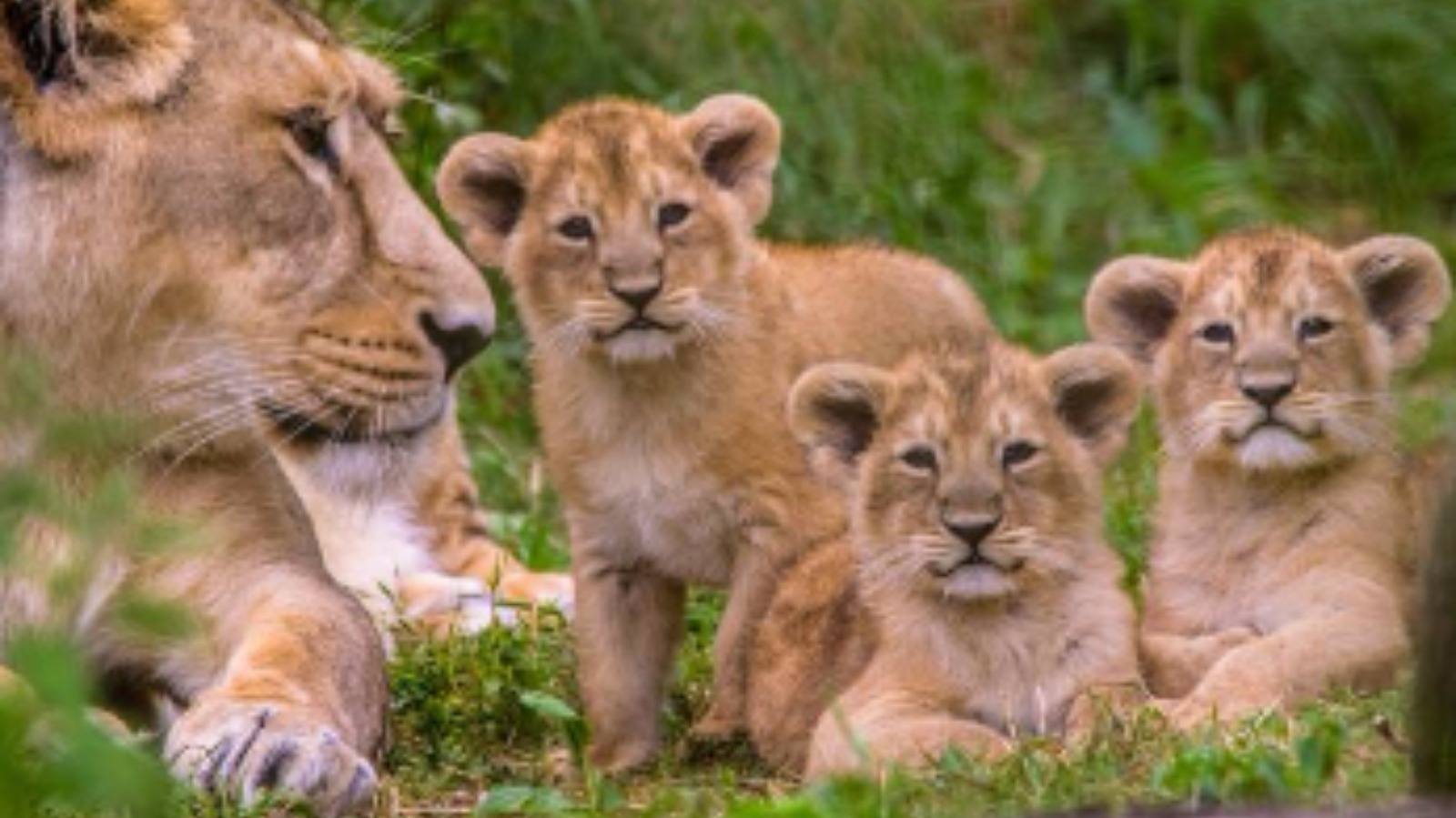 Wildlife Park Celebrates Birth Of First Rare Lion Cub