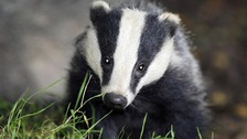 File photo of a badger