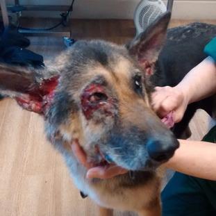 Blue Powder Dog Ear Treatment