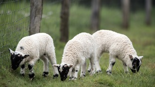 A major sheep rustling incident took place overnight.