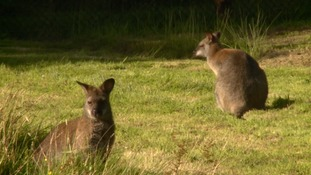 pic of wallabies