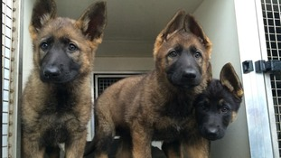 Six pups join the ranks at Northumbria Police