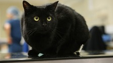 Why Are Black Cats Unpopular