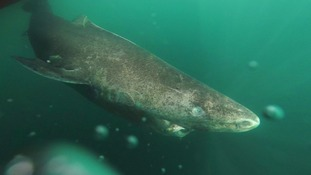 400-year-old Greenland shark has longest life expectancy 'of all vertebrate animals', study shows