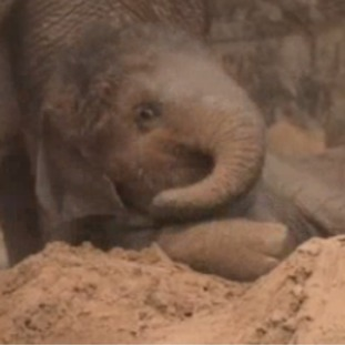 Nandita, is the zoo's youngest elephant