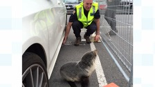 Steve the seal was found napping beneath a car