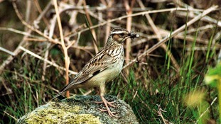 Rare woodlarks return to East Devon heath after 50 years