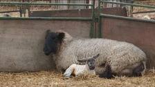 Lambs on one of the region's farms