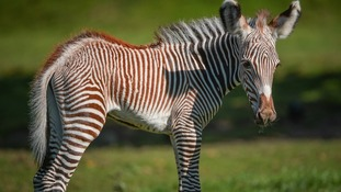 Adorable zebra was born yesterday at Chester Zoo
