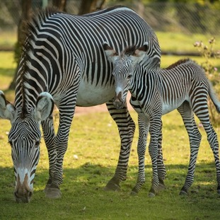 Baby zebra with mum - staff haven't yet determined the sex of the foal
