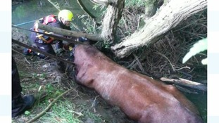 Stranded bull rescued from river by firefighters
