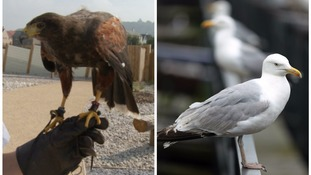 Meet the hawks hired in to see off seagulls in Devon