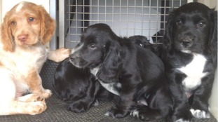 Northumbria Police Dog Section's new Cocker Spaniel pups.
