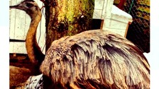 Appeal to find giant bird after it escaped from Norfolk garden