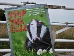A stop the cull poster on a fence at 'Camp Badger, Watchet, near Minehead, Somerset, where protesters gathered to oppose the cull in 2013.