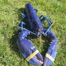 Larry the rare blue lobster
