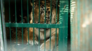 Laziz the tiger is put in a cage to be transported.