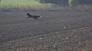A black fox in Bassingbourn