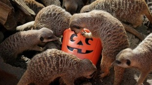 Meerkats eat from pumpkin bucket