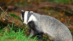 Operations under way after Governemnt approves new badger cull scheme