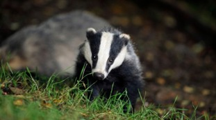 Badger cull 'now underway' in five new areas