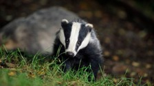 Badger culling rolled out to more parts of England