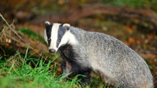 Badger culling comes to Herefordshire