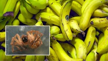 Deadly Brazilian spider found in supermarket bananas