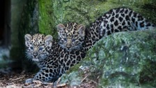 Top of the spots: Amur leopard cubs make first public appearance at Marwell Zoo
