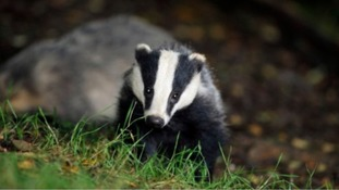 Why the South West could see 13,000 dead badgers: the new cull in numbers