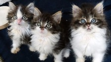 The three maggot-infested kittens were found by a cyclist in a box
