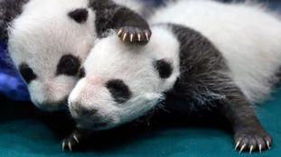 Giant pandas 'no longer endangered species'