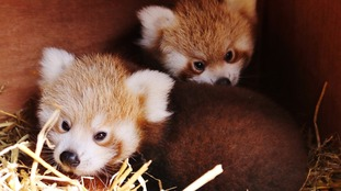 Gorgeous pictures of rare red panda twins born at Longleat