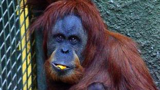 Emma, the mother orangutan
