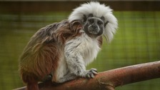 Male cotton-top tamarins