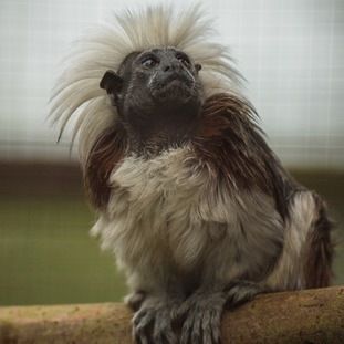 Female cotton-top tamarins