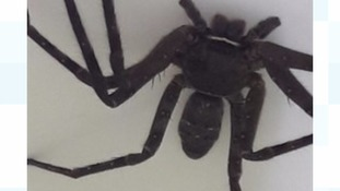 Giant Huntsman spider found in shipping container in Scotland