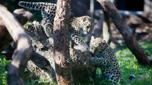 Help name pair of rare leopard cubs