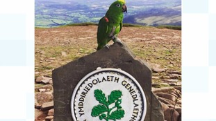 Pub-loving parrot climbed Pen-y-Fan