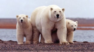 Scientists trapped on remote arctic island by polar bears