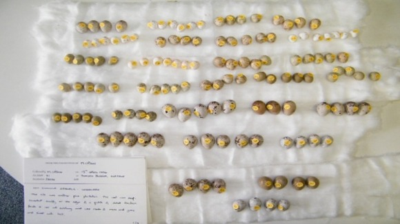 Part of the collection of wild bird eggs including woodlark eggs found at the home of Micheal Upson.