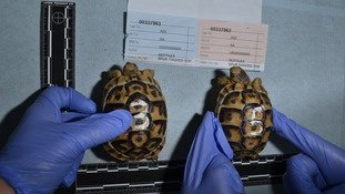 Six spur-thighed tortoises found in Hammersmith home